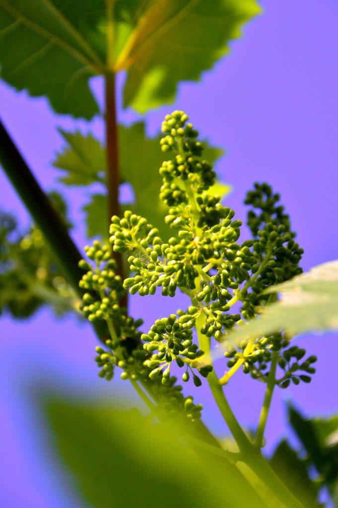 Цветонос винограда