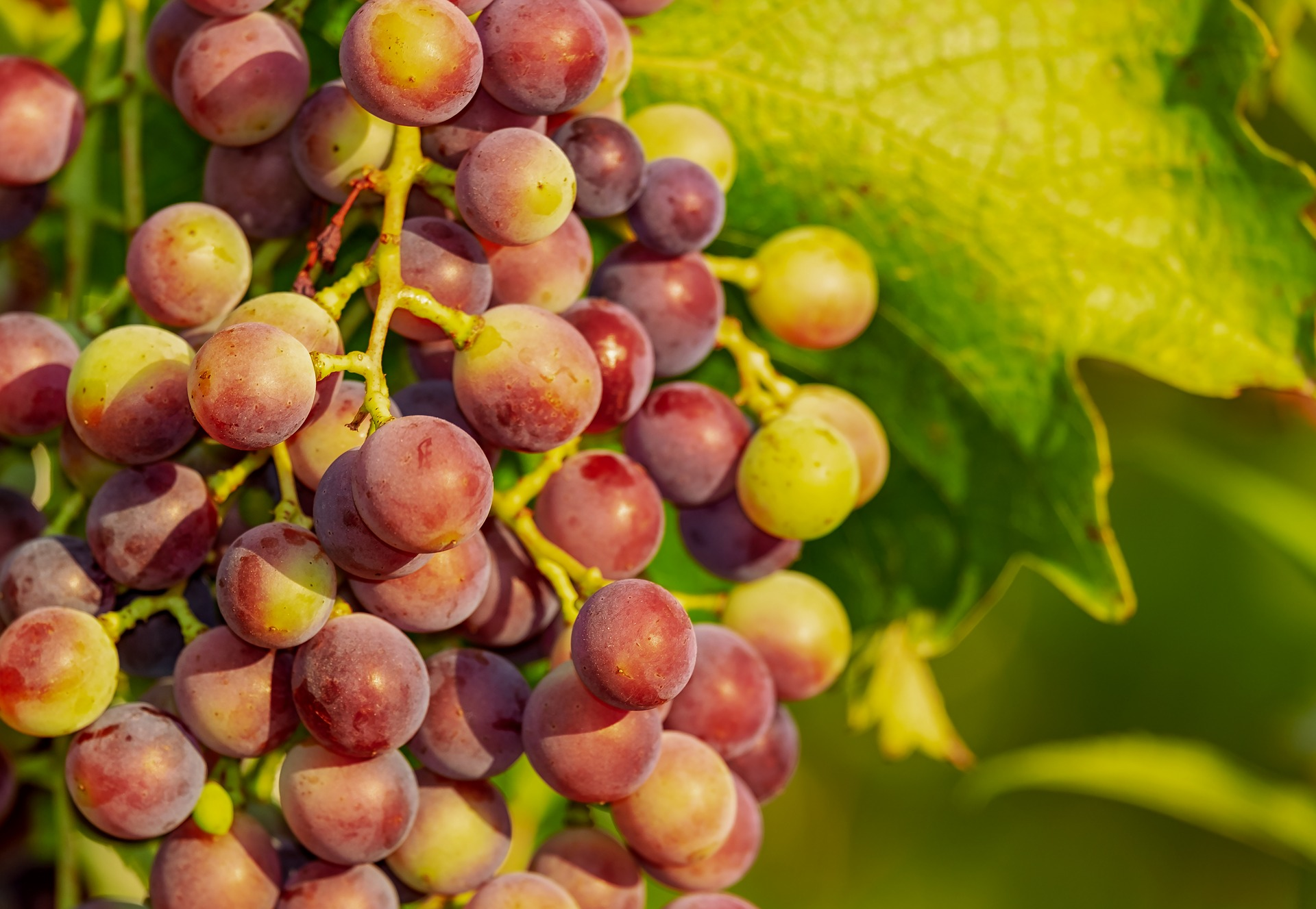 Начало окрашивания винограда