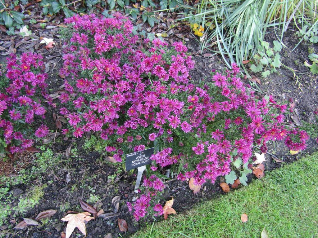Симфиотрихум новобельгийский 'Royal Ruby', Symphyotrichum novi-belgii 'Royal Ruby'