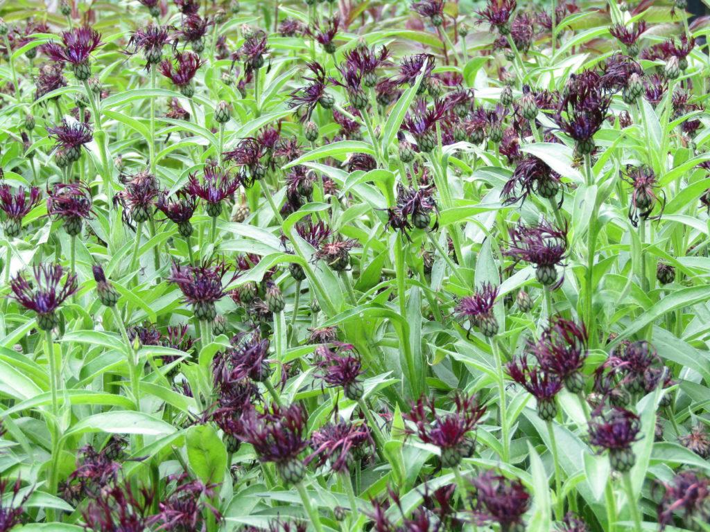 Василёк горный Блэк Спрайт. Centaurea montana 'Black Sprite'
