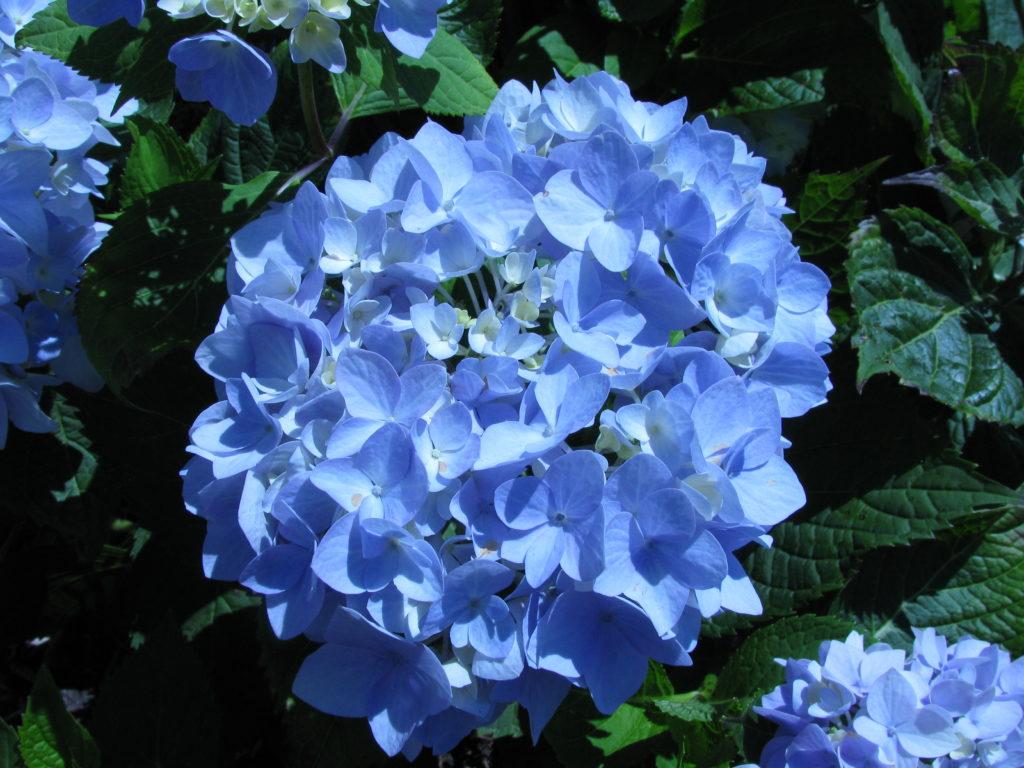 Гортензия крупнолистная 'Бесконечное лето'. Hydrangea macrophylla 'Endless Summer'