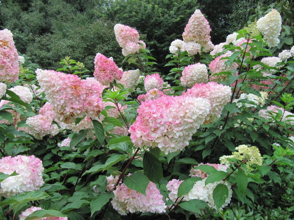 Гортензия метельчатая 'Ванилла Фрейз'.Hydrangea paniculata 'Vanille Fraise'