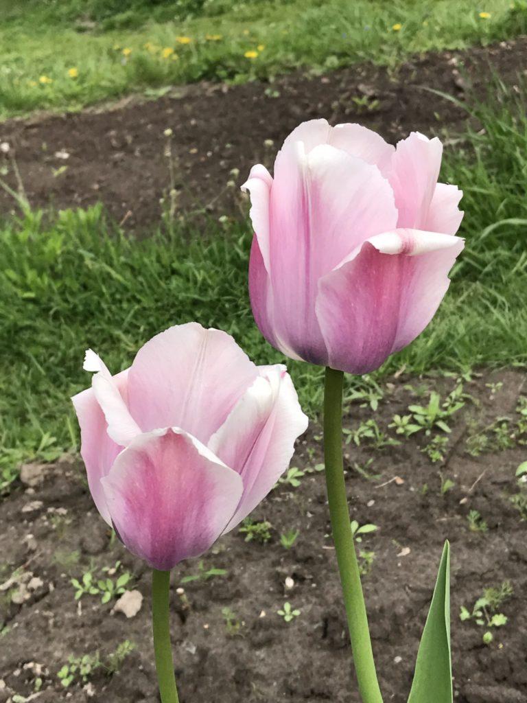 Тюльпаны (Дарвинов гибрид) Оллиоулес