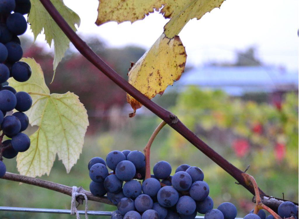 Вызревшая виноградная лоза