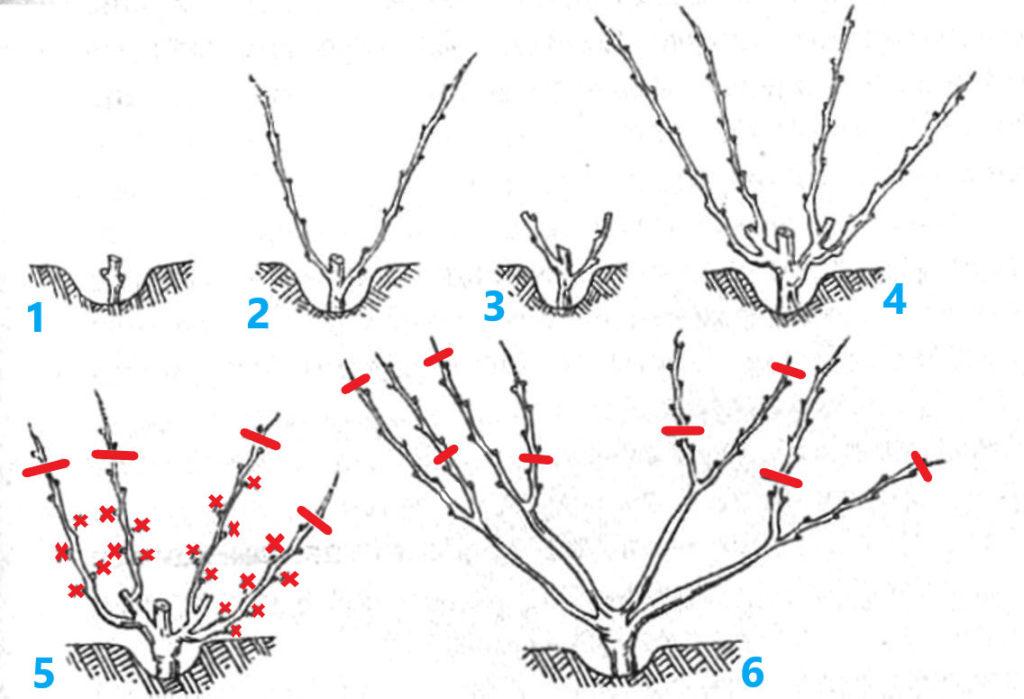 Четырехрукавная веерная формировка виноградного куста