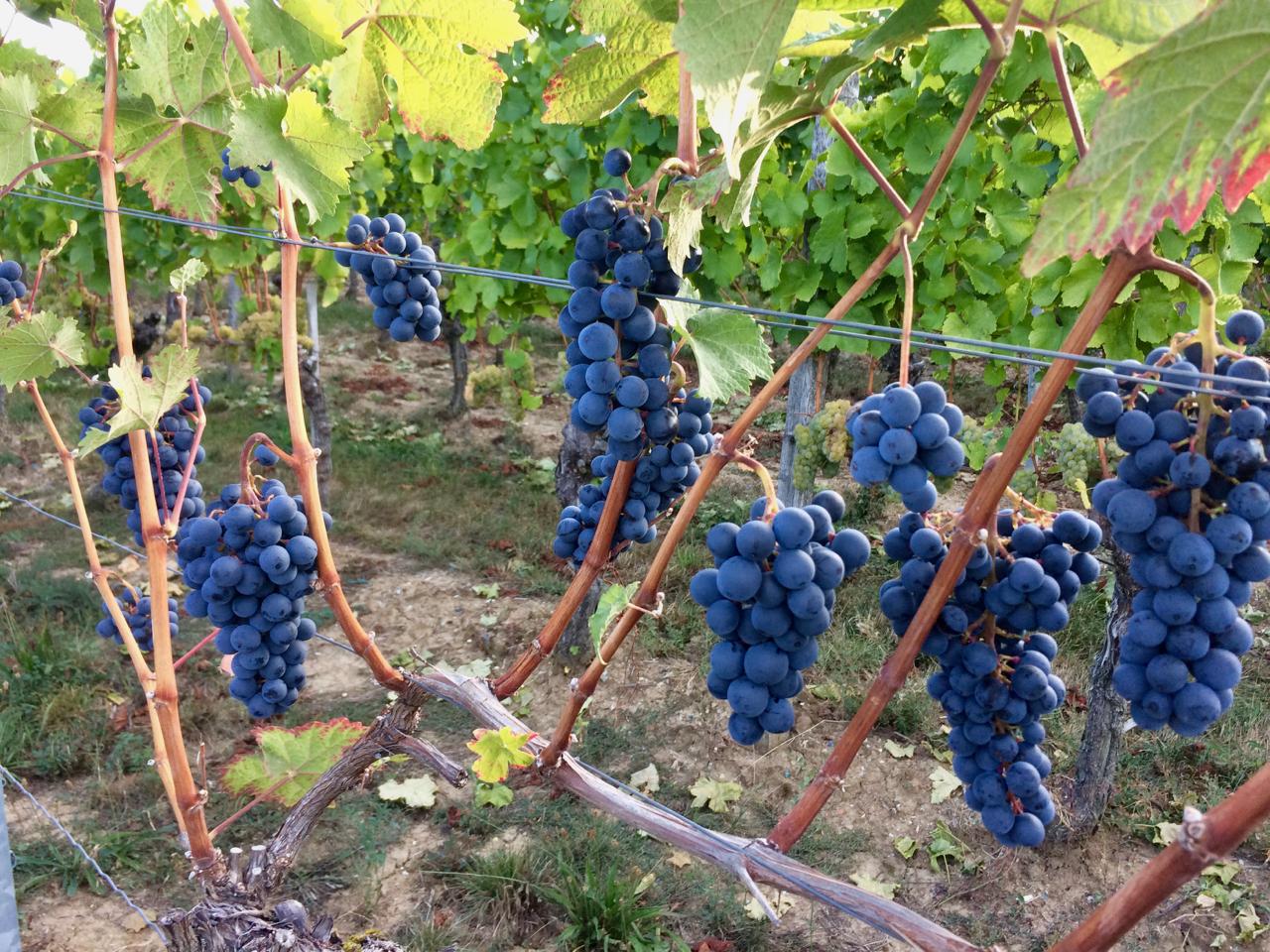 Рукав винограда с урожаем