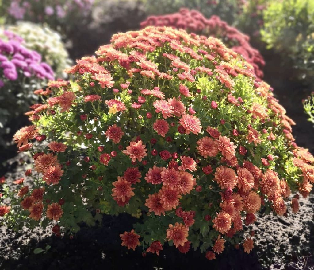 Хризантема мультифлора с оранжевыми цветами