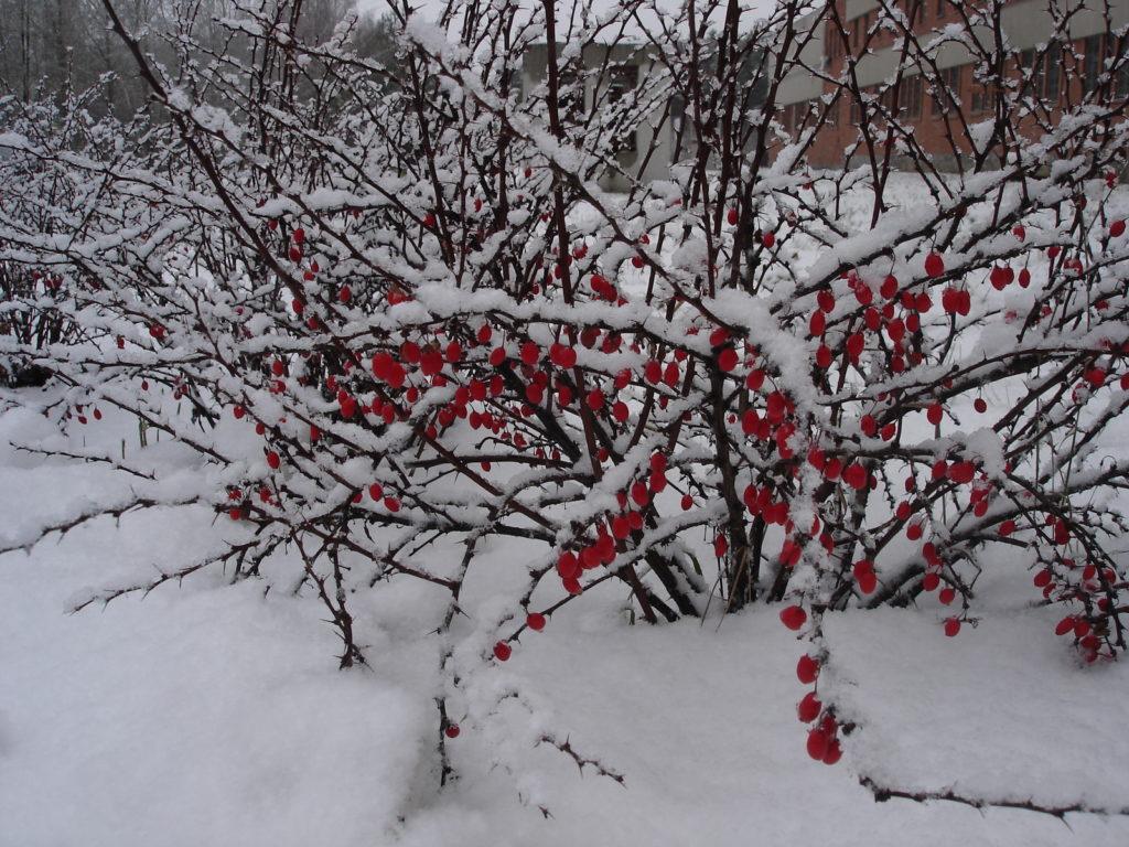 Куст барбариса в снегу
