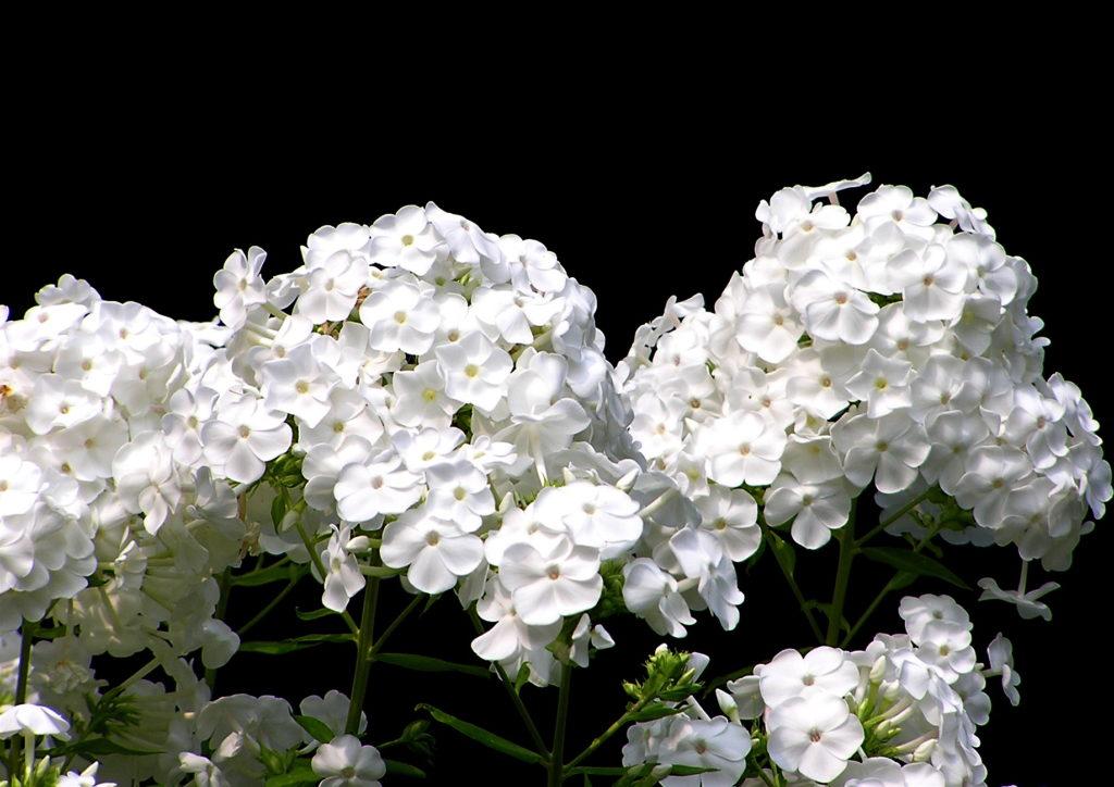 Белые флоксы