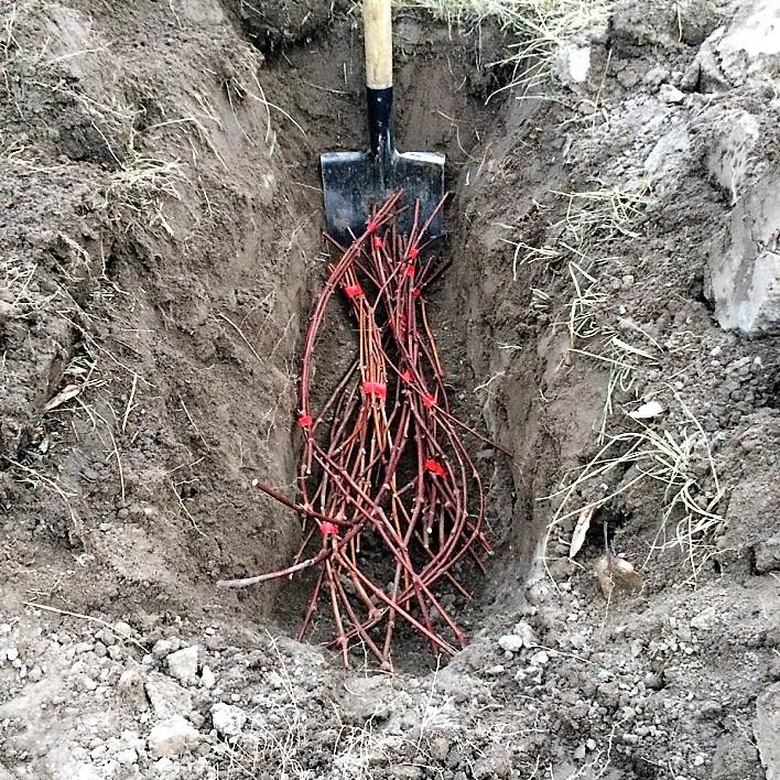 Хранение виноградной лозы в земле