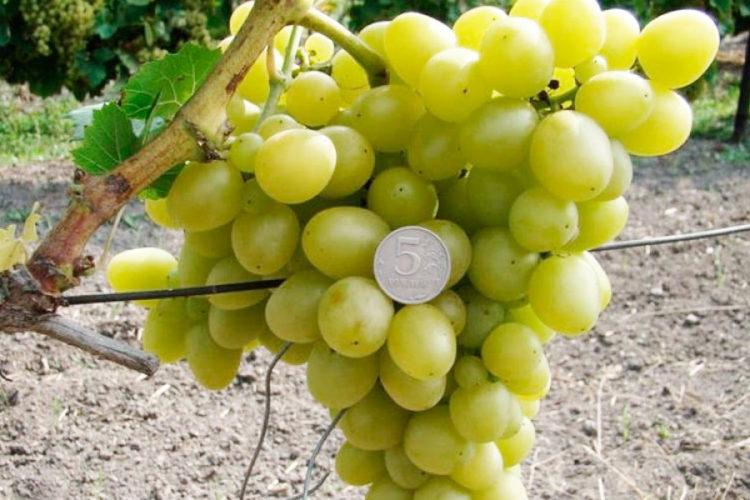 Виноград злата описание сорта фото отзывы
