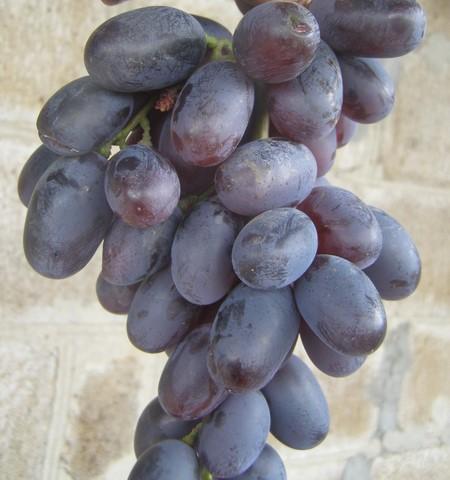 Виноград Сентябрина