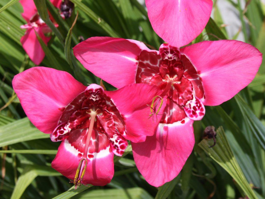 Розовая Тигридия