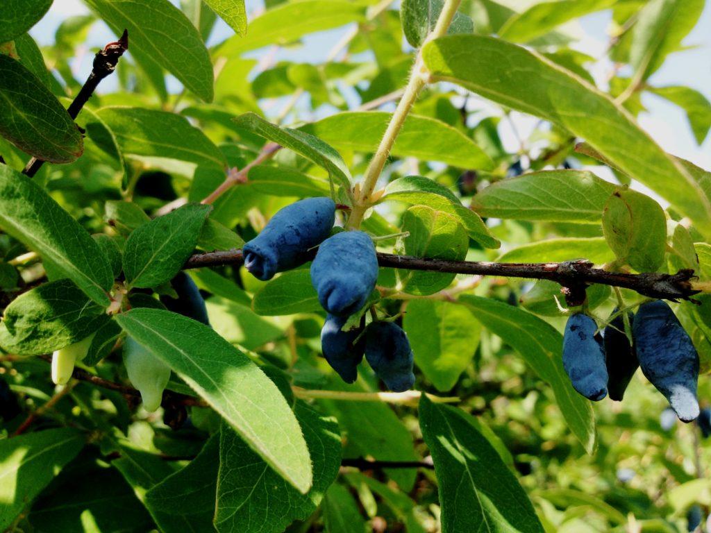 Синие ягоды жимолости