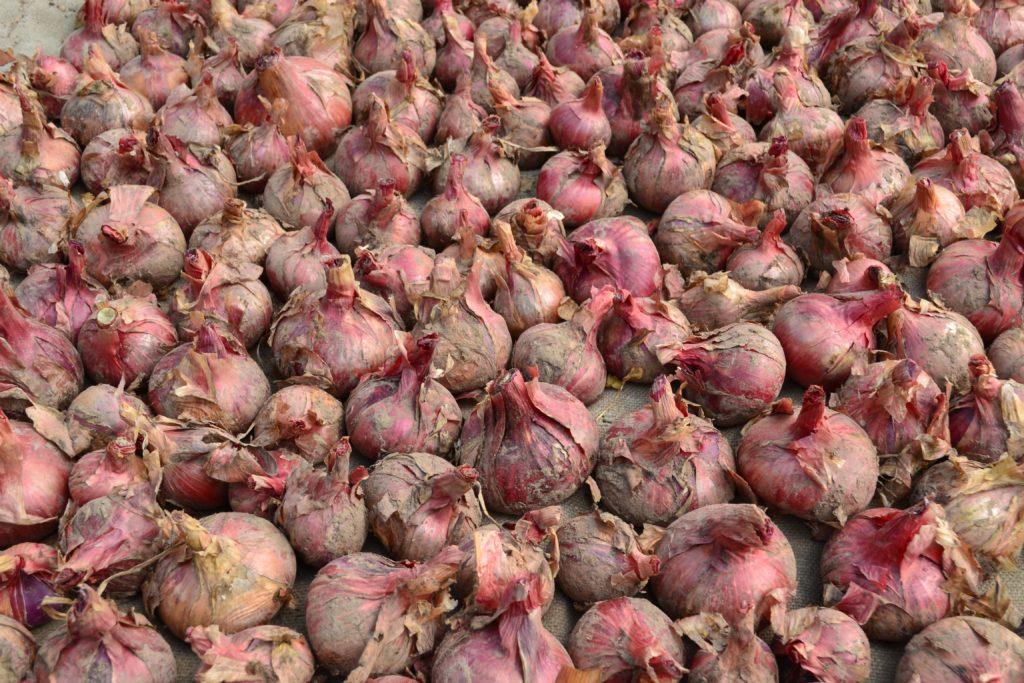Китайский способ выращивания и посадки лука: особенности метода (пошагово)
