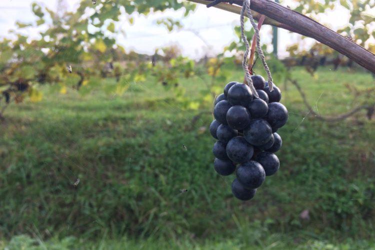 Нагрузка винограда
