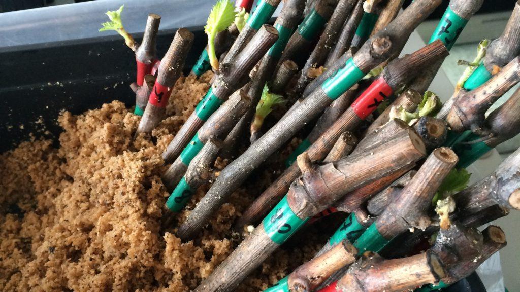 Кильчевание виноградных черенков во влажных опилках