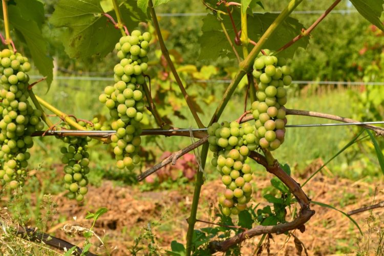 Осветление гроздей винограда