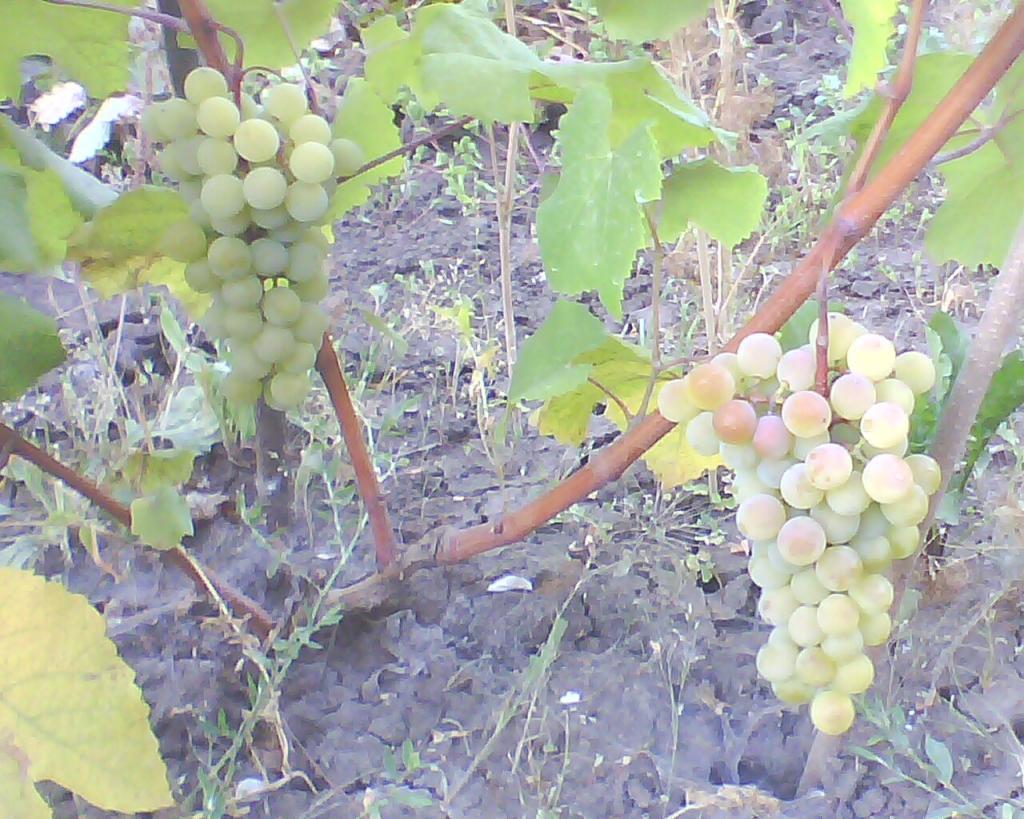 Виноград Супага