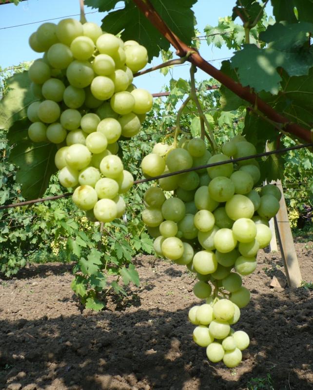 Виноград Спонсор
