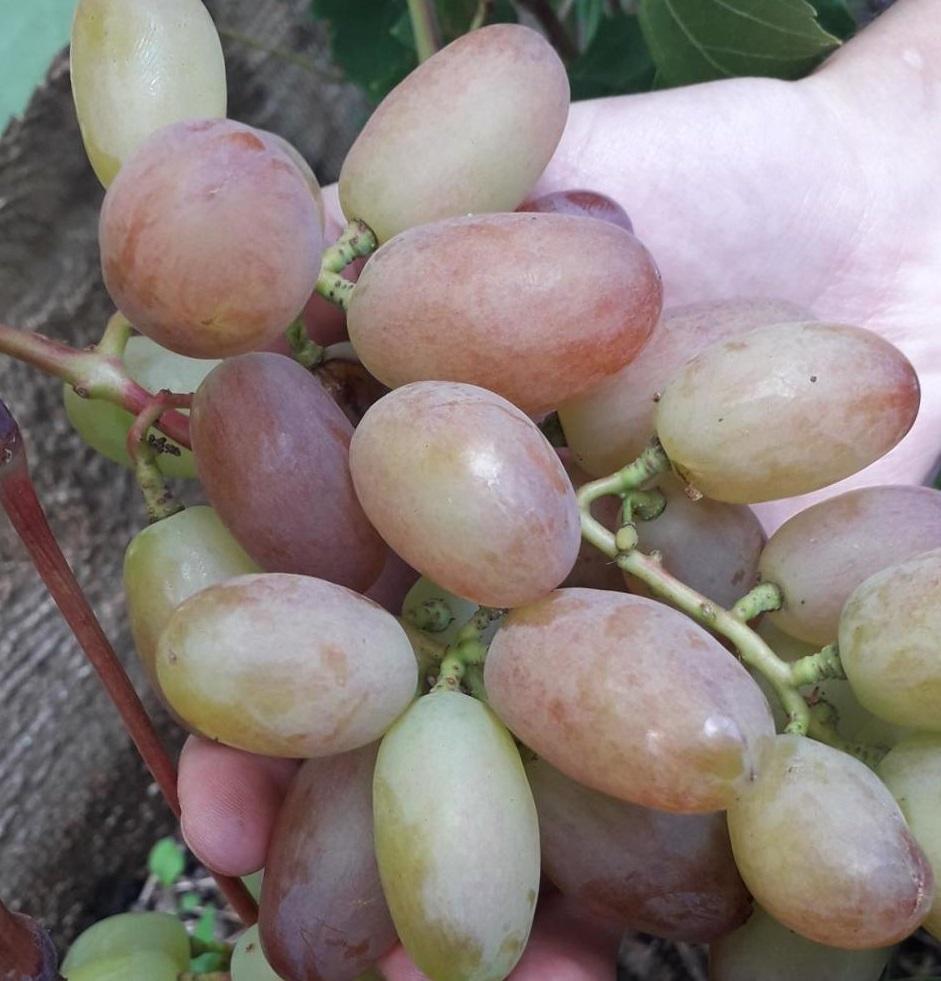 gibberellin-dlya-vinograda