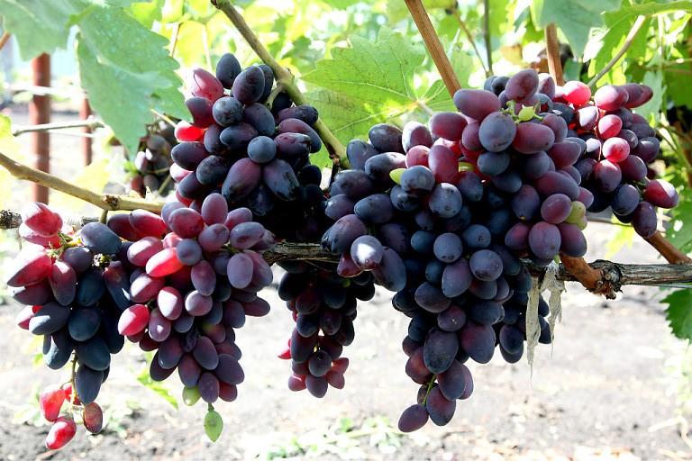 Урожай винограда Красотка Фёдор Кузубов, г. Белгород, Россия
