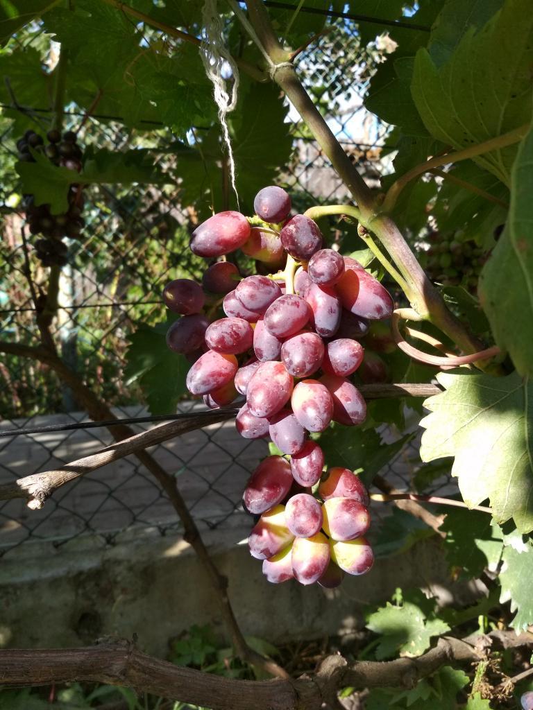 Гроздь винограда Красотка Aleks.narow, г. Наровля, Гомельская область, Беларусь