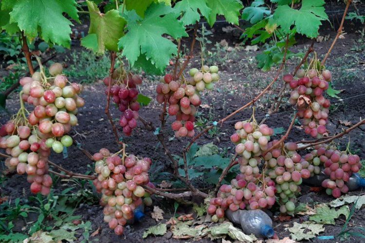 Виноград Велимир