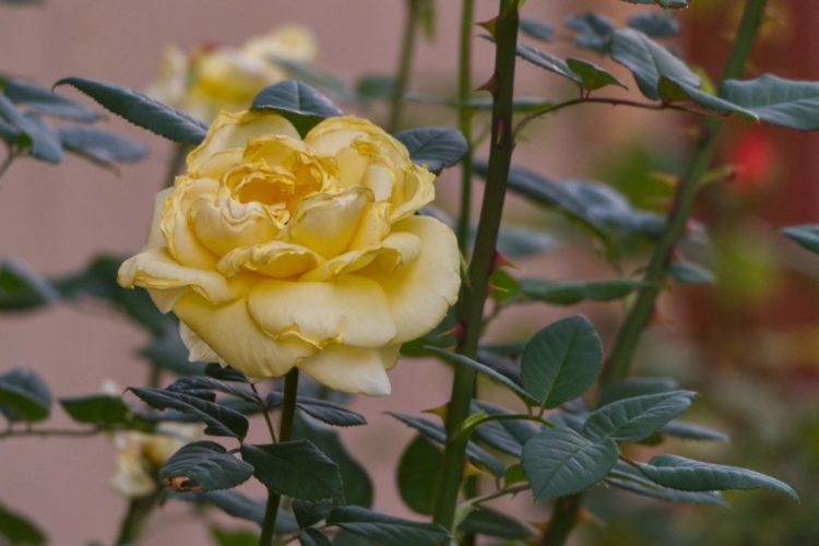 Чем обработать розы осенью перед зимой