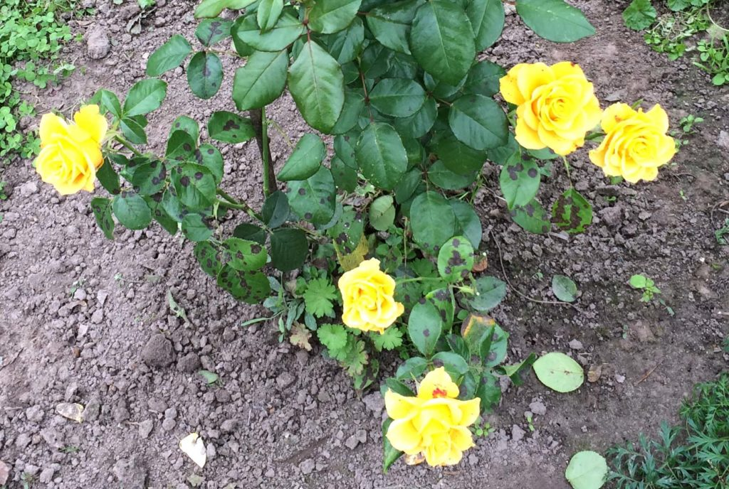 Чёрная пятнистость на листьях розы Керио