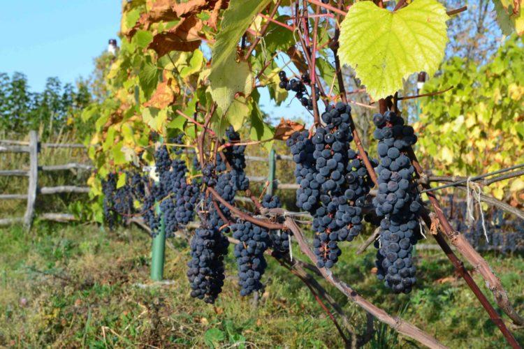 Виноград на гряде