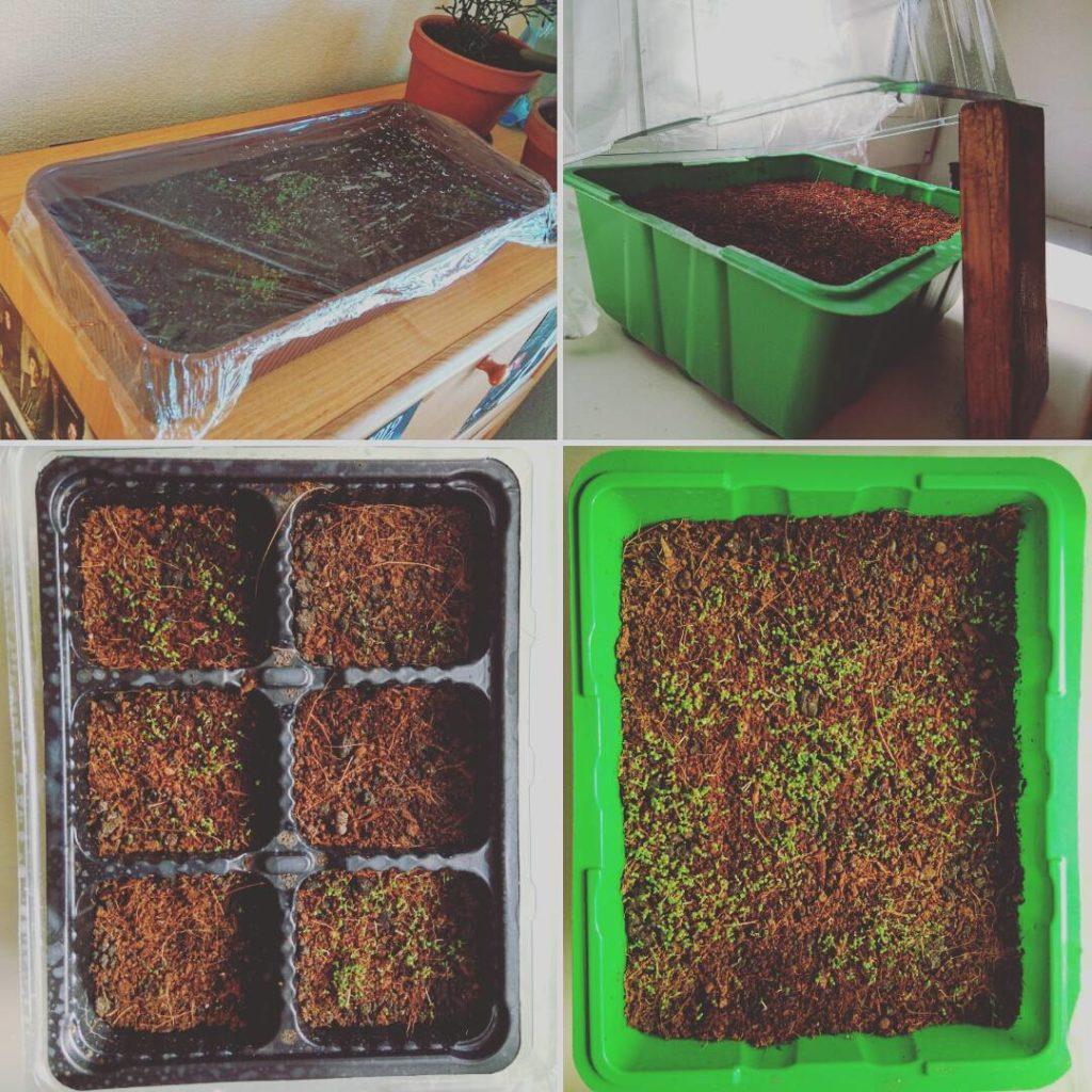 Проращивание семян табака в микропарнике