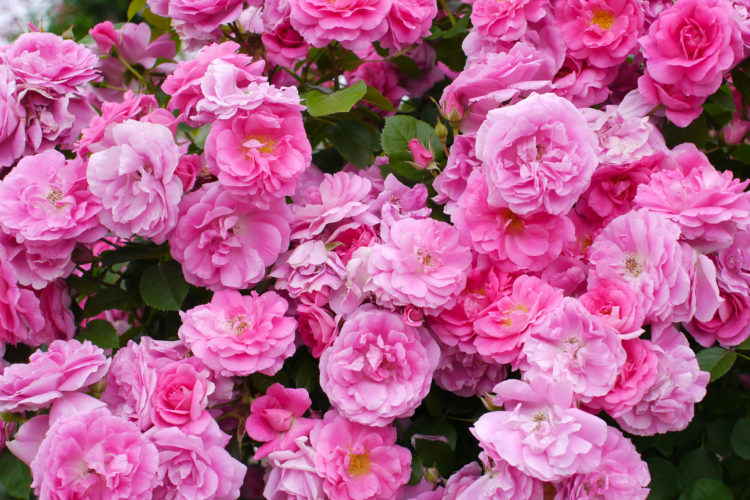 Роза Морден Сентенниал (Rose Morden Centennial)