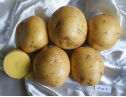 Картофель Прайм