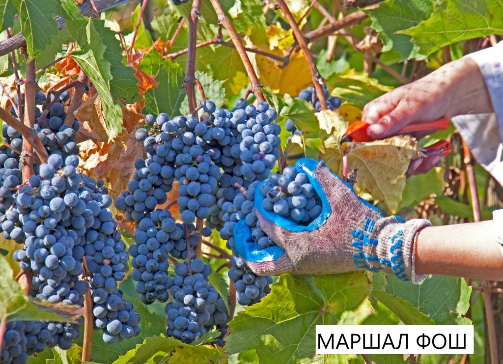 Виноград Маршал Фош.