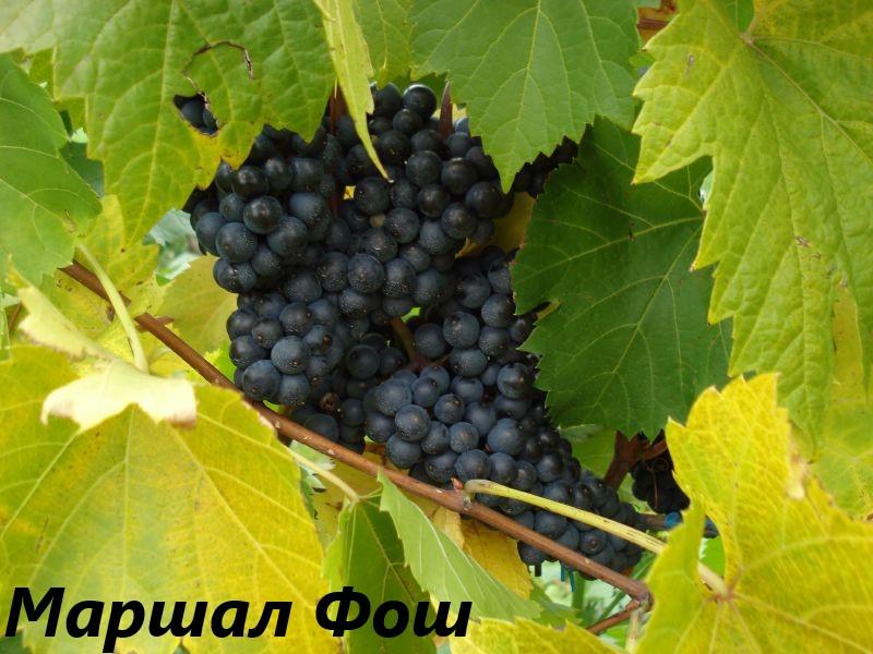 Грозди винограда Маршал Фош.
