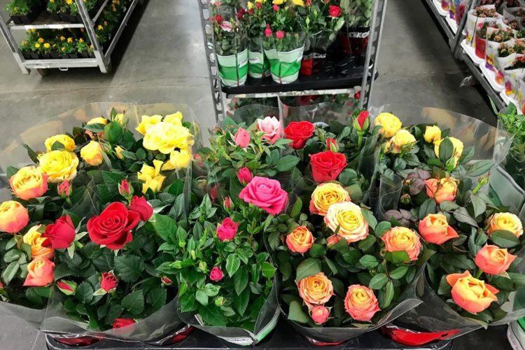 Комнатные розы в магазине