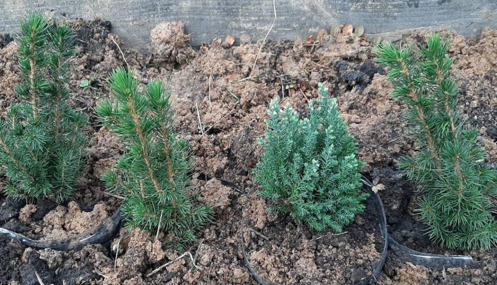 Новогодние растения, высаженные в землю в горшках.
