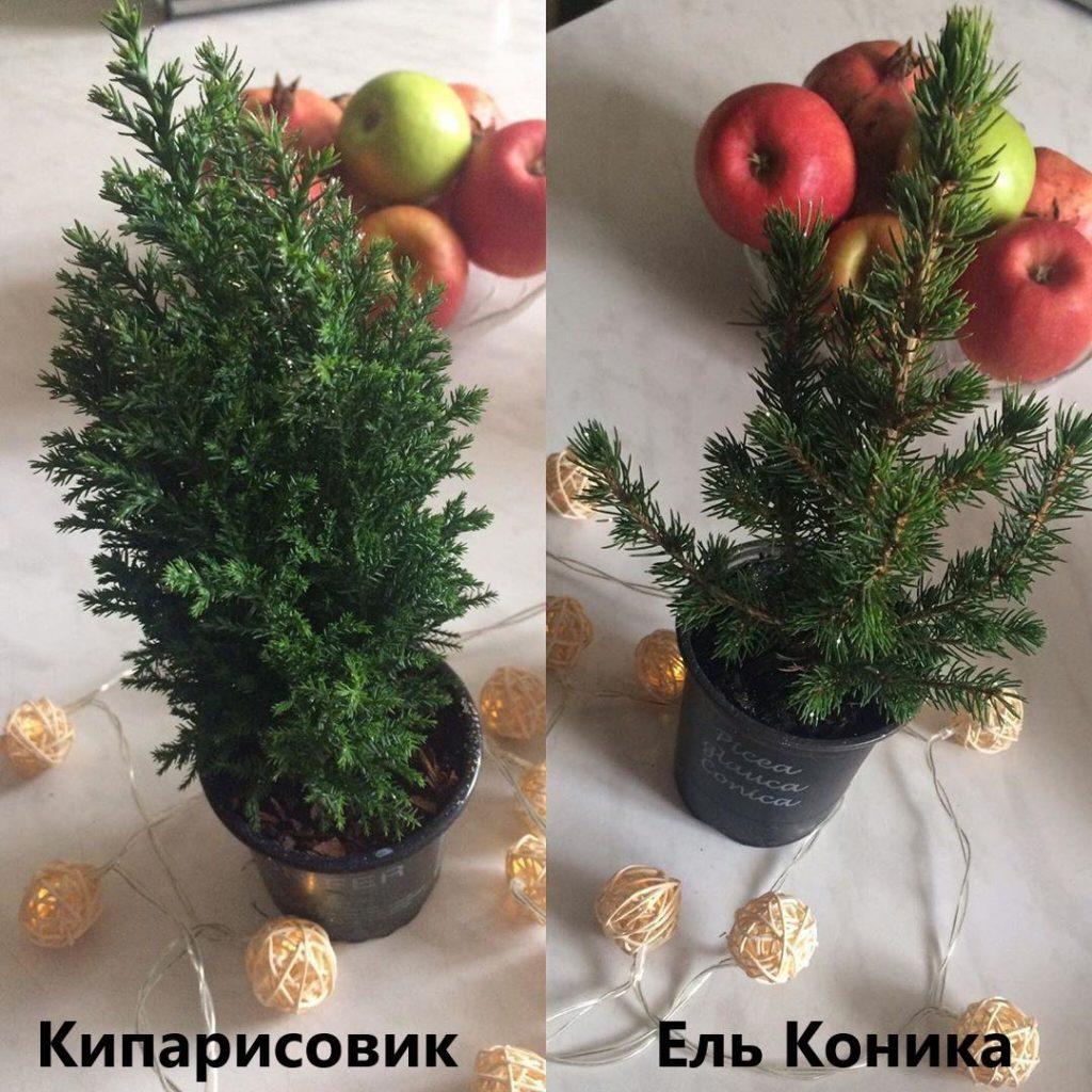 Слева - кипарисовик, справа - ель сизая (или канадская) Коника