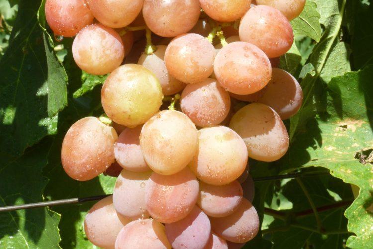 Виноград Румын