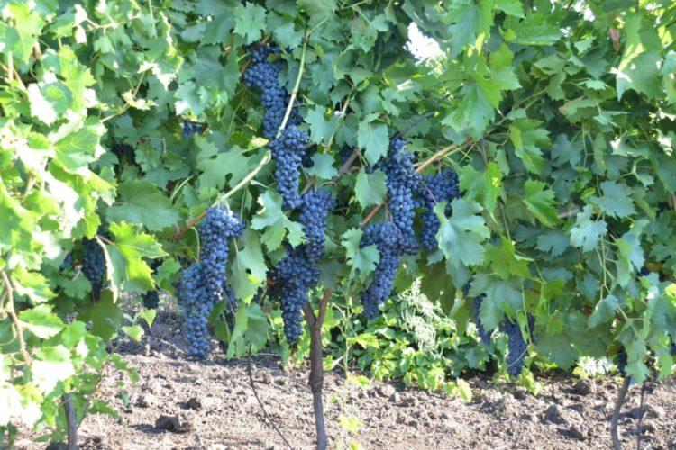 Виноград Теремной