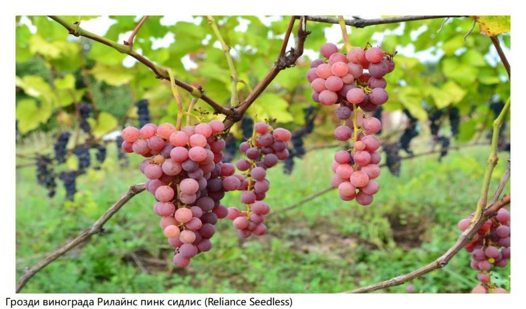 Грозди винограда Рилайнс пинк сидлис (Reliance Seedless)