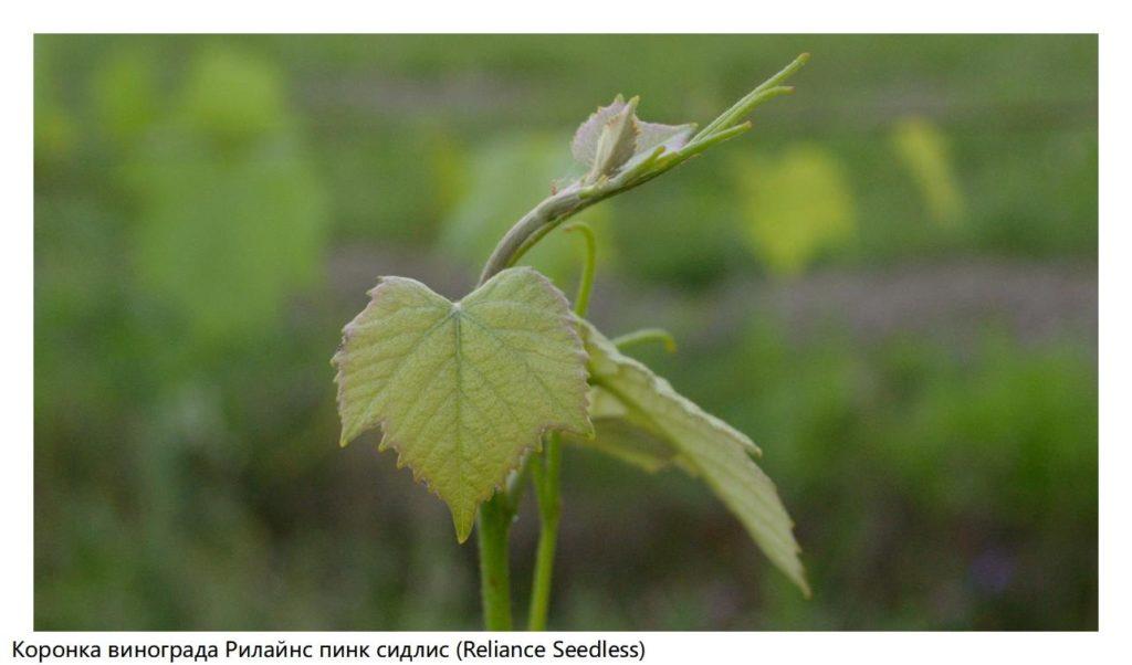 Коронка винограда Рилайнс пинк сидлис (Reliance Seedless)