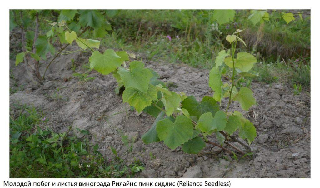 Молодой побег и листья винограда Рилайнс пинк сидлис (Reliance Seedless)