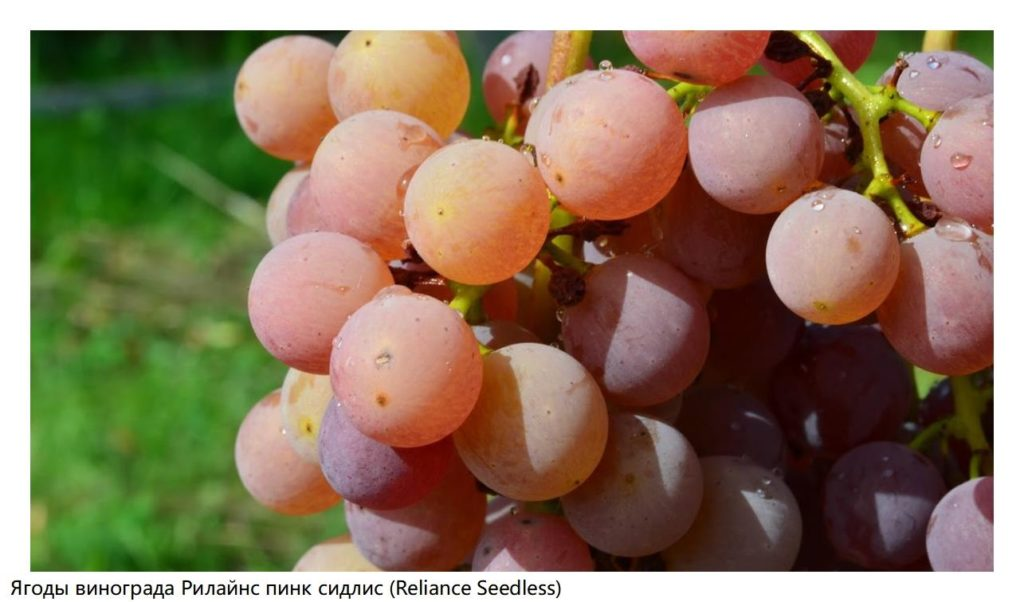 Ягоды винограда Рилайнс пинк сидлис (Reliance Seedless)