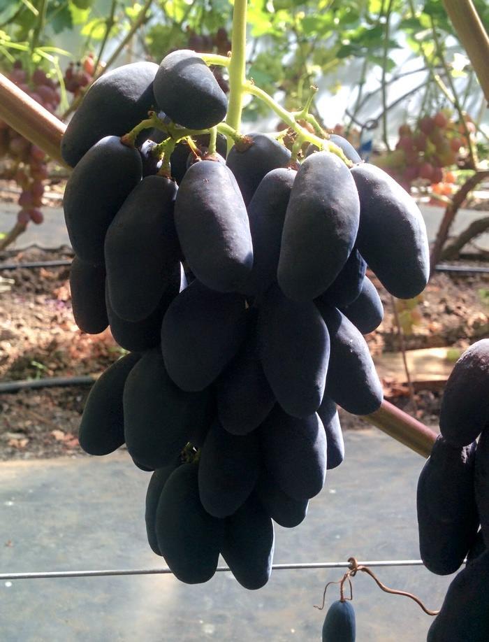 Гроздь винограда Ромбик на кусте
