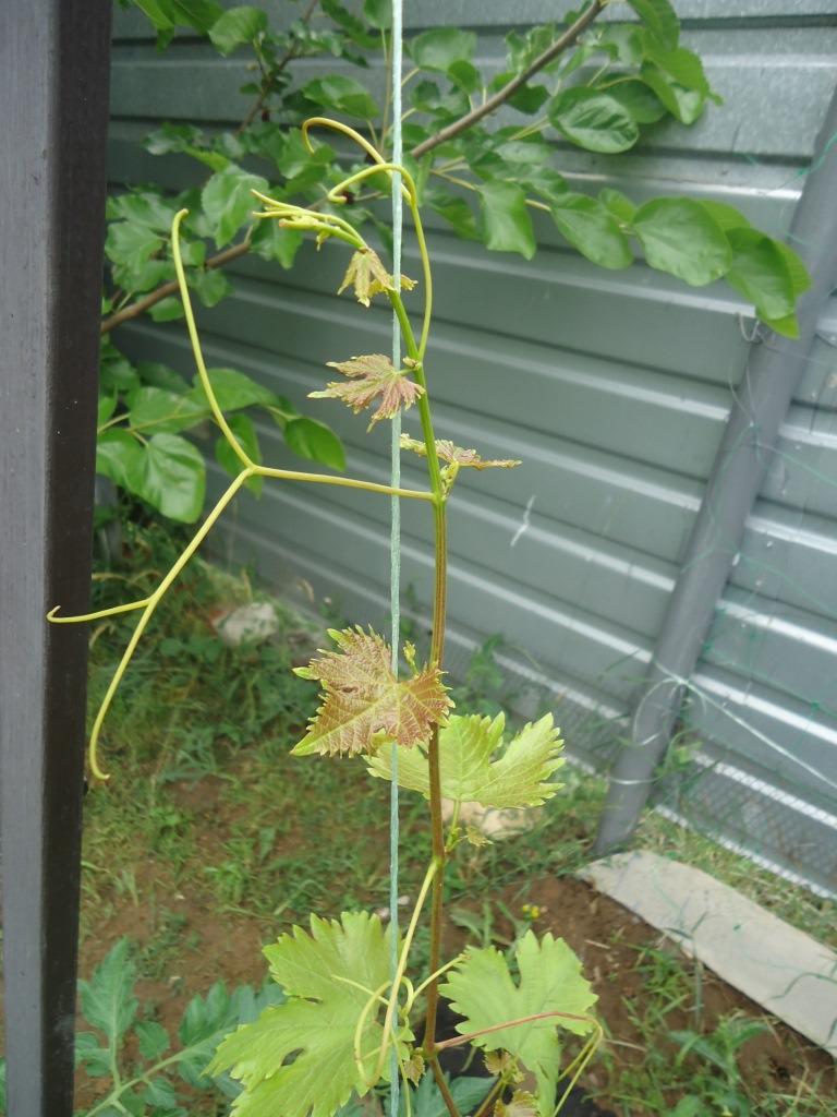 Коронка винограда Ромбик