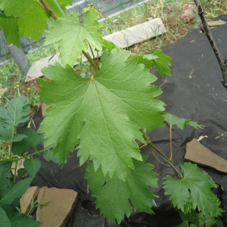 Лист винограда Ромбик