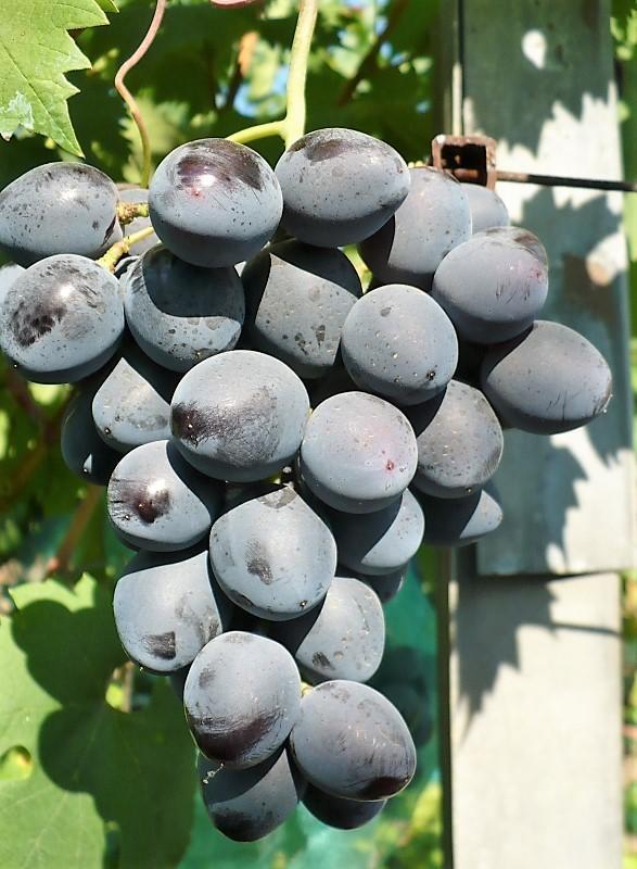 Гроздь урожая 2017, виноград Руслан, Фурса И.И., Краснодарский край