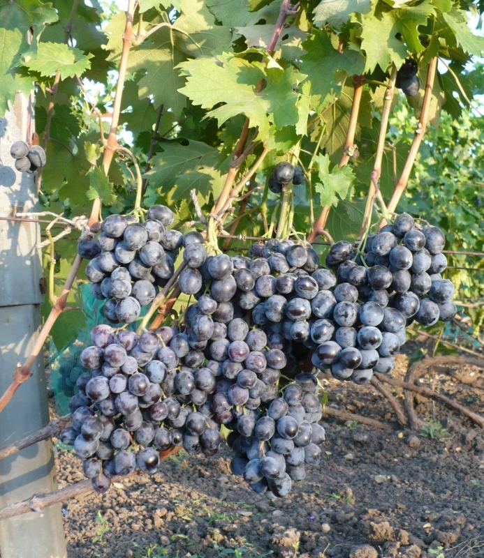 Гроздья винограда Руслан на кусте, Фурса И.И., Краснодарский край